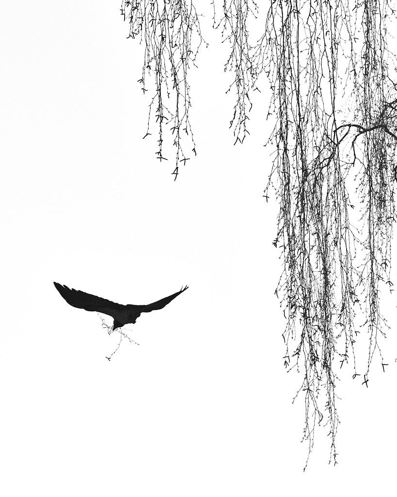 Kråke samler kvist til reir